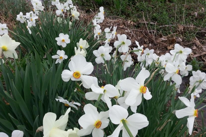daffodils2a