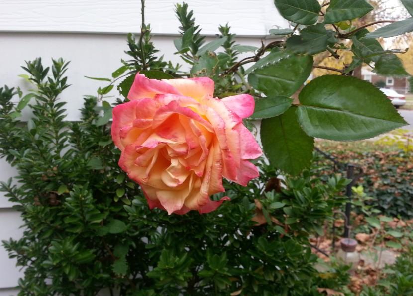 last rose2