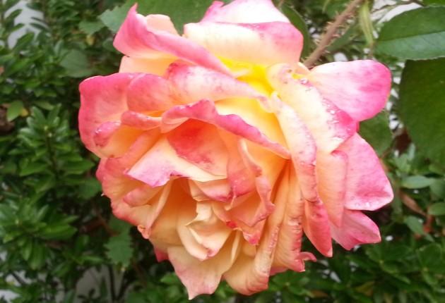 rose up close