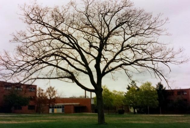 Massachusetts tree2